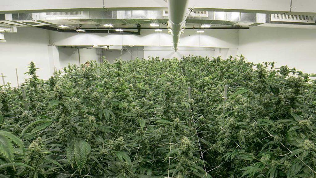 Gov  Greg Abbott Signs Law Legalizing Hemp Production, CBD Products